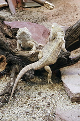 #2346 Bearded Dragons - Artis Royal Zoo Amsterdam (Holland)