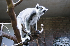 #2347 Ring-tailed Lemur - Artis Royal Zoo Amsterdam (Holland)