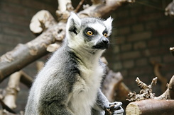 #2348 Ring-tailed Lemur - Artis Royal Zoo Amsterdam (Holland)