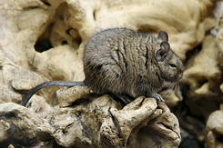 #2349 Degu - Artis Royal Zoo Amsterdam (Holland)