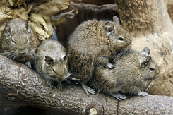 #2350 Degus - Artis Royal Zoo Amsterdam (Holland)