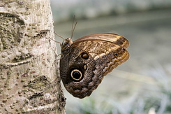 #2352 Owl Butterfly - Artis Royal Zoo Amsterdam (Holland)