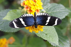 #2354 Sara Longwing - Artis Royal Zoo Amsterdam (Holland)