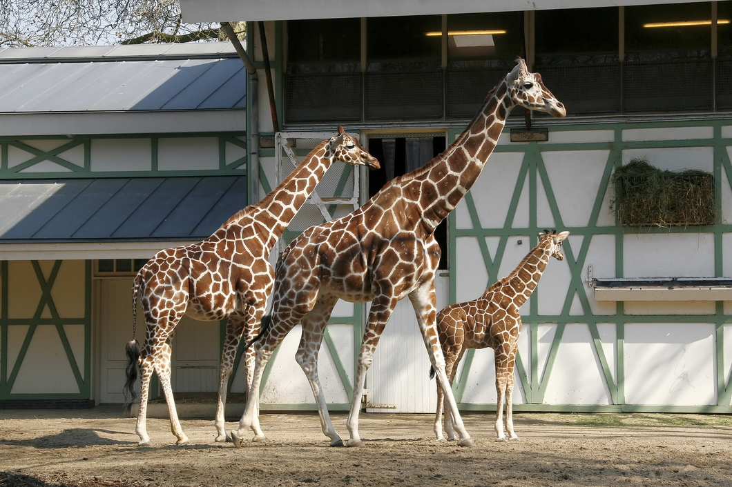 #2369 Reticulated Giraffes - Artis Royal Zoo Amsterdam (Holland)