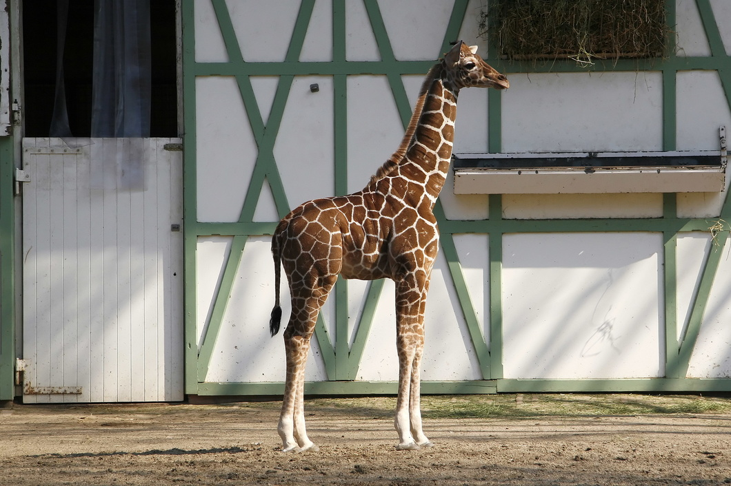 #2370 Young Reticulated Giraffe - Artis Royal Zoo Amsterdam (Holland)