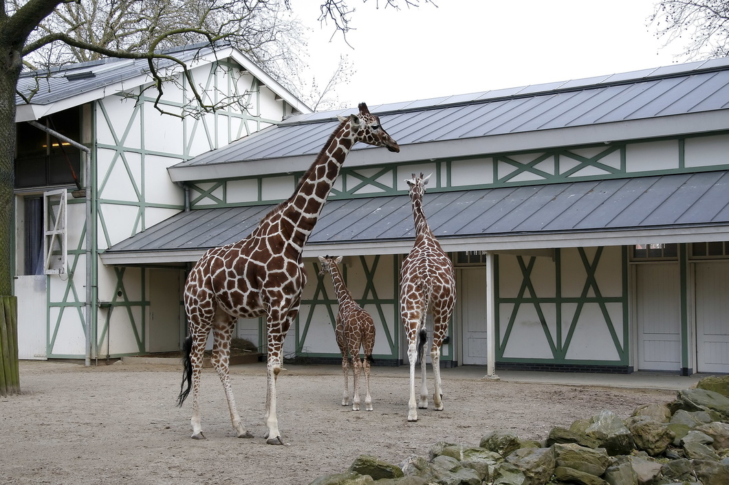 #2371 Reticulated Giraffes - Artis Royal Zoo Amsterdam (Holland)