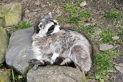 #2372 Raccoon - Artis Royal Zoo Amsterdam (Holland)