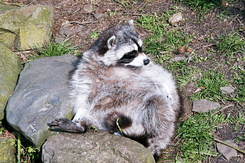 #2373 Raccoon - Artis Royal Zoo Amsterdam (Holland)