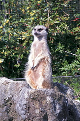 #2374 Meerkat - Artis Royal Zoo Amsterdam (Holland)