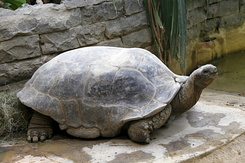 #2376 Aldabra Giant Tortoise - Artis Royal Zoo Amsterdam (Holland)