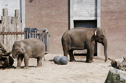 #2379 Asian Elephants - Artis Royal Zoo Amsterdam (Holland)