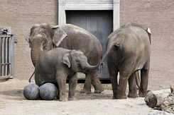 #2380 Asian Elephants - Artis Royal Zoo Amsterdam (Holland)
