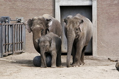 #2381 Asian Elephants - Artis Royal Zoo Amsterdam (Holland)