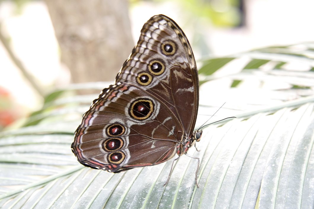 #2382 Morpho Butterfly - Artis Royal Zoo Amsterdam (Holland)