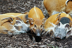 #2708 Red River Hogs - Rotterdam Zoo (Holland)