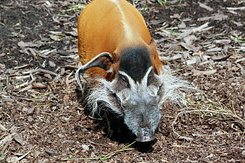#2709 Red River Hog - Rotterdam Zoo (Holland)