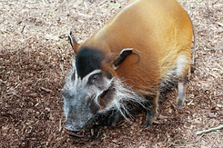 #2710 Red River Hog - Rotterdam Zoo (Holland)