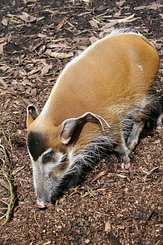 #2711 Red River Hog - Rotterdam Zoo (Holland)