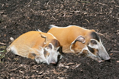 #2712 Red River Hogs - Rotterdam Zoo (Holland)