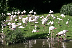 #2764 Greater Flamingos - Rotterdam Zoo (Holland)