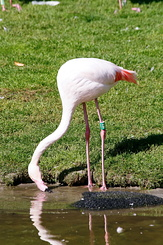 #2765 Greater Flamingo - Rotterdam Zoo (Holland)