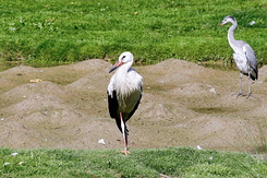 #2768 White Stork - Rotterdam Zoo (Holland)