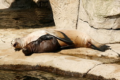 #2775 Californian Sea Lions - Rotterdam Zoo (Holland)