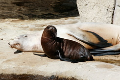 #2778 Californian Sea Lions - Rotterdam Zoo (Holland)