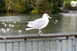 #3411 European Herring Gull - Dublin Zoo (Ireland)