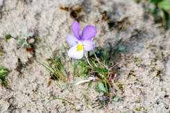 #3520 Dune Pansy - Amsterdam Water Supply Dunes (Holland)