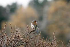 #3534 Common Chaffinch - Amsterdam Water Supply Dunes (Holland)