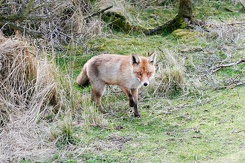 #3535 Red Fox - Amsterdam Water Supply Dunes (Holland)