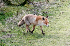 #3536 Red Fox - Amsterdam Water Supply Dunes (Holland)
