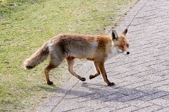 #3537 Red Fox - Amsterdam Water Supply Dunes (Holland)