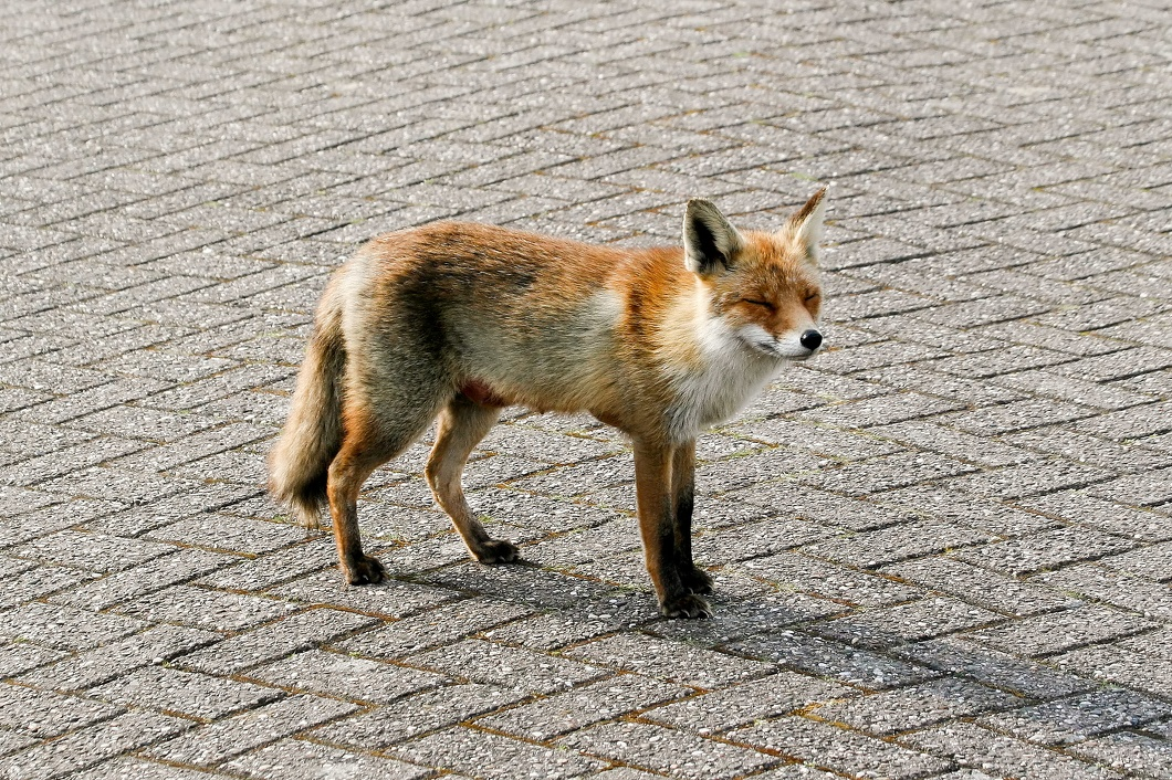#3539 Red Fox - Amsterdam Water Supply Dunes (Holland)