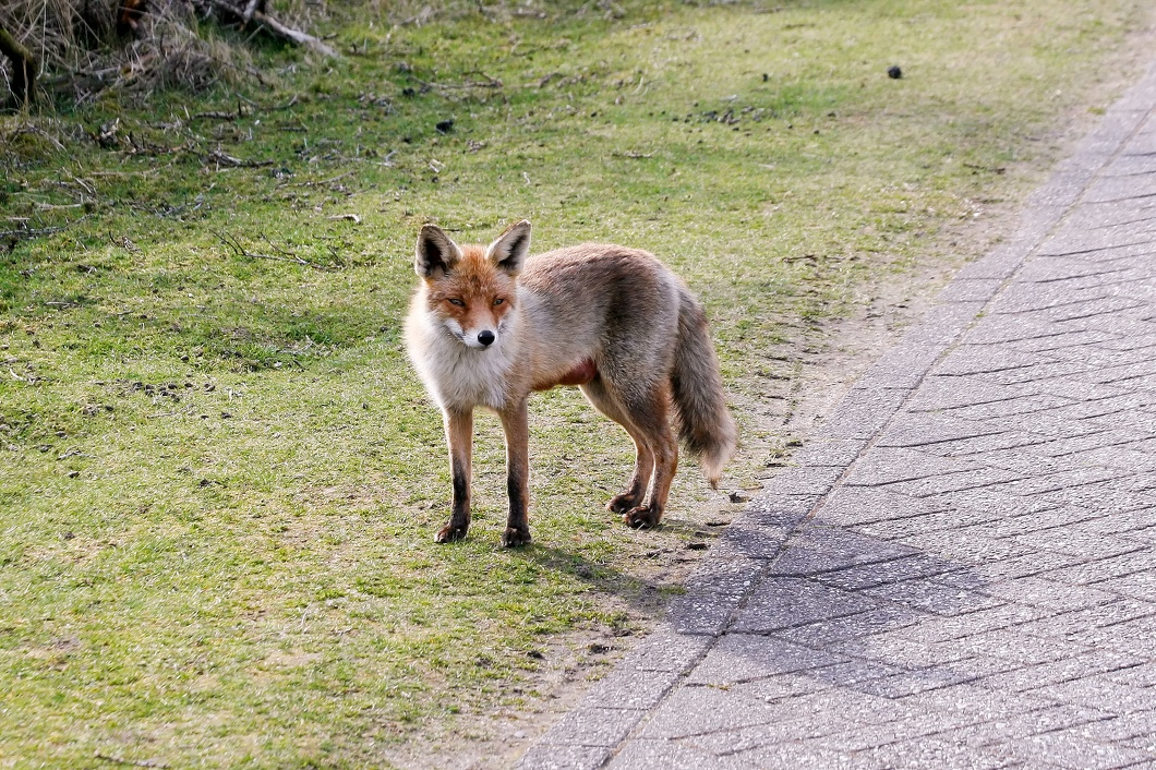 20160409-026 Red Fox - Amsterdam Water Supply Dunes (Holland).jpg