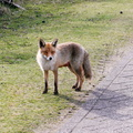 #3540 Red Fox - Amsterdam Water Supply Dunes (Holland)
