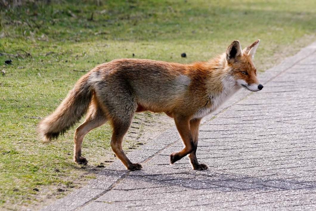 #3541 Red Fox - Amsterdam Water Supply Dunes (Holland)