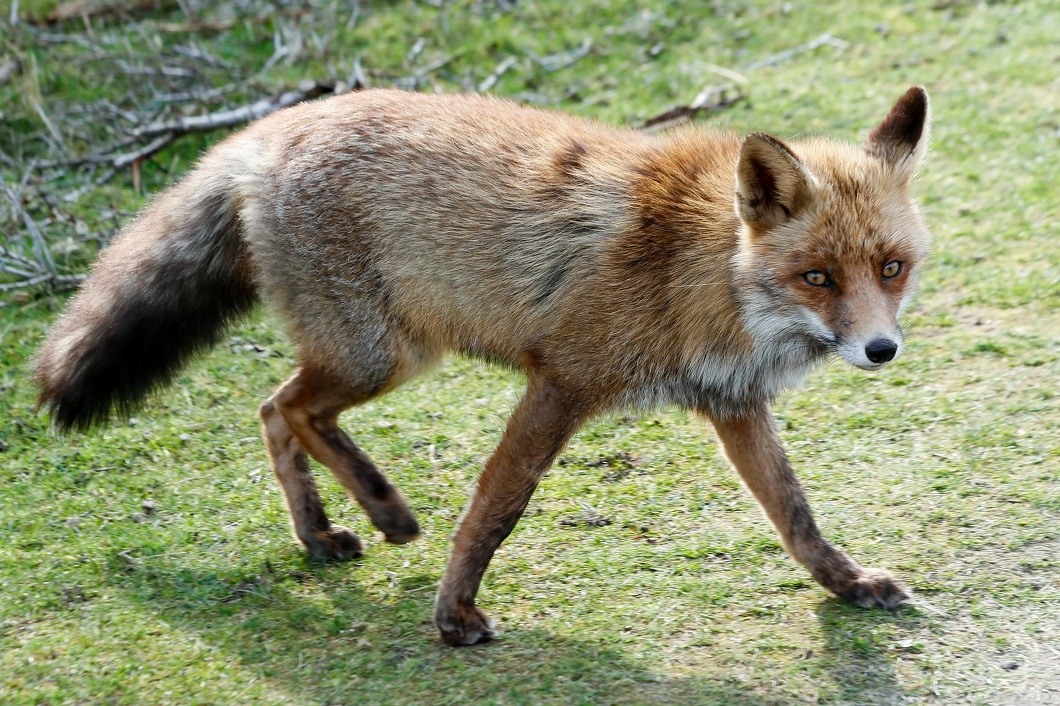 #3542 Red Fox - Amsterdam Water Supply Dunes (Holland)