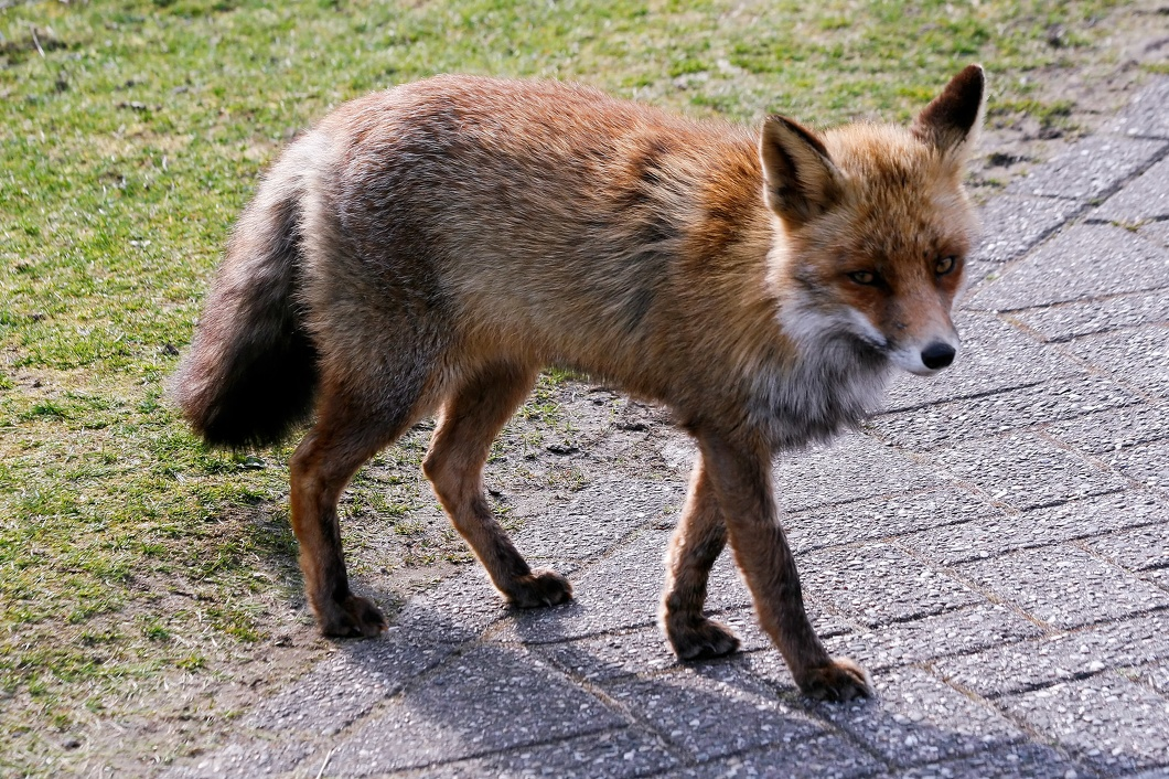 #3543 Red Fox - Amsterdam Water Supply Dunes (Holland)