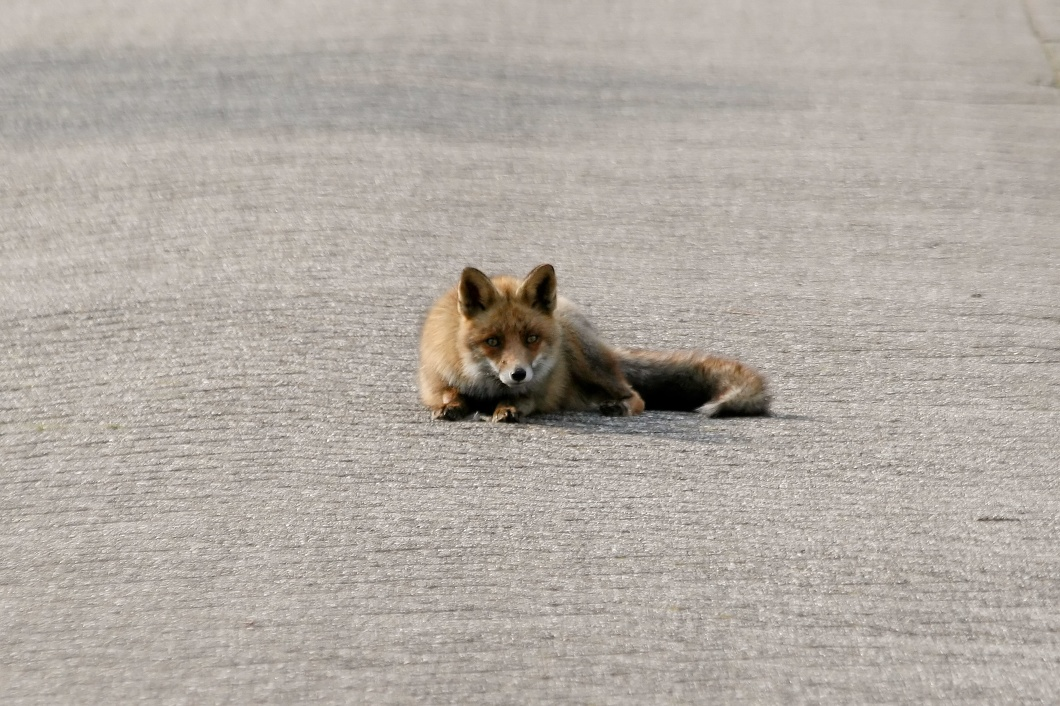#3544 Red Fox - Amsterdam Water Supply Dunes (Holland)