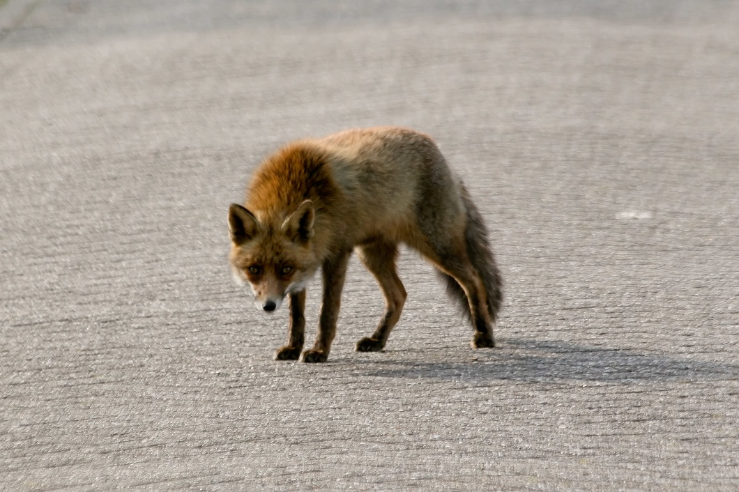 #3545 Red Fox - Amsterdam Water Supply Dunes (Holland)