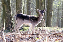 #4105 Fallow Deer - Amsterdam Water Supply Dunes (Holland)