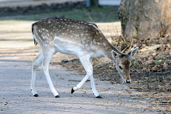 #4106 Fallow Deer - Amsterdam Water Supply Dunes (Holland)