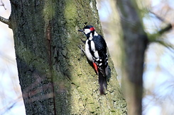 #4107 Great Spotted Woodpecker - Amsterdam Water Supply Dunes (Holland)