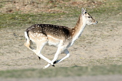 #4109 Fallow Deer - Amsterdam Water Supply Dunes (Holland)