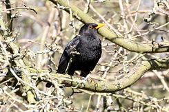 #4111 Common Blackbird - Amsterdam Water Supply Dunes (Holland)