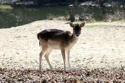 #4114 Fallow Deer - Amsterdam Water Supply Dunes (Holland)
