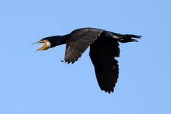 #4401 Great Cormorant - Amsterdam Water Supply Dunes (Holland)