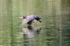 #4402 Great Cormorant - Amsterdam Water Supply Dunes (Holland)